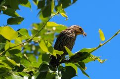 美洲红翼鸫或Agelaius Phoeniceus 免版税图库摄影