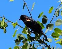 美洲红翼鸫或Agelaius Phoeniceus 库存图片