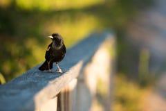 美洲红翼鸫特写镜头坐篱芭 库存图片