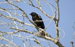 美洲红翼鸫, Sweetwater沼泽地图森亚利桑那,美国 免版税库存照片