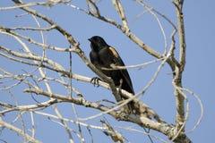 美洲红翼鸫, Sweetwater沼泽地图森亚利桑那,美国 免版税图库摄影