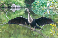 美洲蛇鸟分行 图库摄影