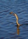 美洲蛇鸟吃 免版税库存图片
