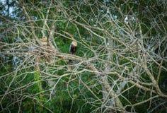 美洲蛇鸟和青少年巢的 库存图片