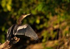 美洲蛇鸟干燥全身羽毛s 库存照片