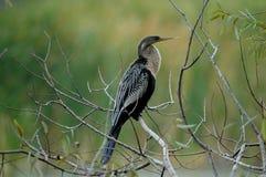 美洲蛇鸟湖水地区 库存照片