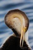 美洲蛇鸟澳大利亚突进者novaehollandiae 库存图片