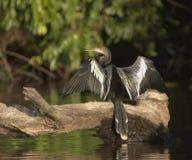 美洲蛇鸟秘鲁 库存照片