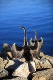 美洲蛇鸟,澳洲 库存图片