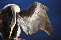 美洲蛇鸟, Swan湖在珀斯,澳洲 免版税图库摄影