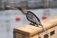 美洲蛇鸟(美洲蛇鸟美洲蛇鸟)在运河旁边 图库摄影