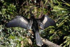 美洲蛇鸟 图库摄影