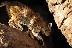 美洲野猫下面在边缘的 免版税库存照片
