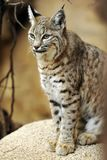 美洲野猫供以座位紧密软性 免版税图库摄影