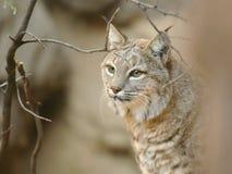 美洲野猫关闭软的画象  免版税库存照片