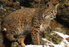 美洲野猫岩石 库存图片