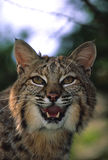 美洲野猫接近咆哮  免版税库存图片