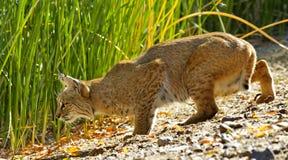 美洲野猫滴下更低准备突袭 图库摄影