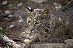 美洲野猫通配天猫座的rufus 免版税库存图片