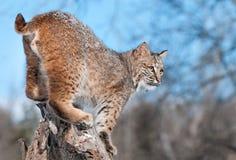 美洲野猫(天猫座rufus)与在他的毛皮的雪在树桩突出 库存照片