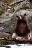 美洲黑熊的熊属类 免版税库存照片