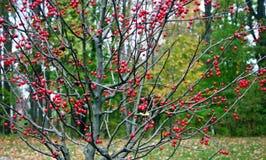 美洲冬青霍莉,冬青属verticillata,在秋天期间 库存照片