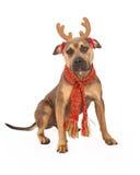 美洲叭喇混合品种狗佩带的圣诞节鹿角 免版税库存图片