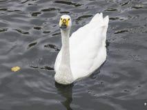 美洲天鹅或天鹅座天鹅座,在池塘特写镜头画象,选择聚焦,浅DOF 库存图片