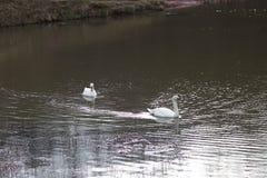 美洲天鹅或天鹅座天鹅 库存图片