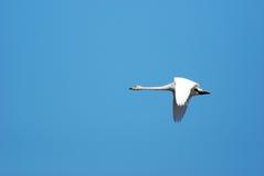 美洲天鹅飞行 免版税图库摄影