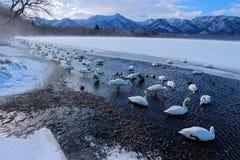 美洲天鹅,天鹅座天鹅座,鸟在自然栖所,湖Kusharo,与雪和冰在湖,有雾的山的冬天场面 免版税图库摄影