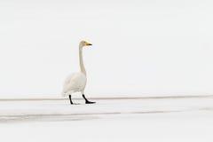 美洲天鹅 库存照片