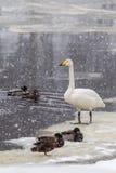 美洲天鹅 免版税库存图片