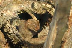 美洲山猫位于 库存图片