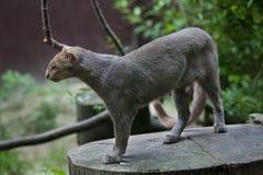 美洲山猫& x28; 美洲狮yagouaroundi& x29; 库存照片