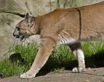美洲狮四处寻觅 免版税库存图片