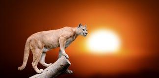 美洲狮在树站立 免版税库存图片