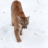 美洲狮在森林,美洲狮,在雪的唯一猫 免版税图库摄影