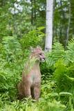 美洲狮在蕨植物中 库存图片