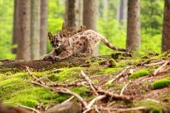 美洲狮小猫 免版税库存图片