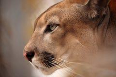 美洲狮或美洲狮 库存图片