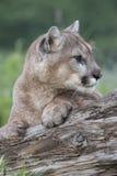 美洲狮注视 库存图片
