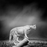 美洲狮的黑白图象 免版税库存照片