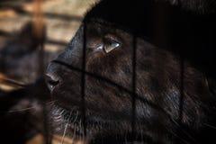 黑美洲狮的画象 免版税库存图片