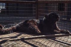 黑美洲狮的画象 免版税图库摄影