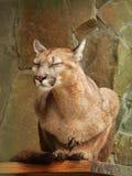 美洲狮美洲狮作梦 免版税库存图片
