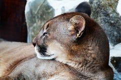 美洲狮-特写镜头画象 库存图片