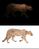美洲狮(豹属onca)在黑暗和白色背景中 免版税库存图片
