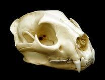 美洲狮头骨 免版税图库摄影