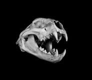 美洲狮头骨 库存照片